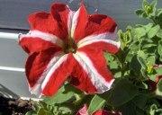 exemple-fleur-petunia-rouge-et-blanc