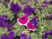 exemple-PetuniaHybridaPiebald