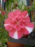petunia-rouge